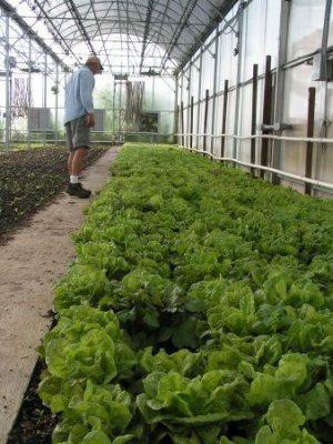Lettuce.JPG-small