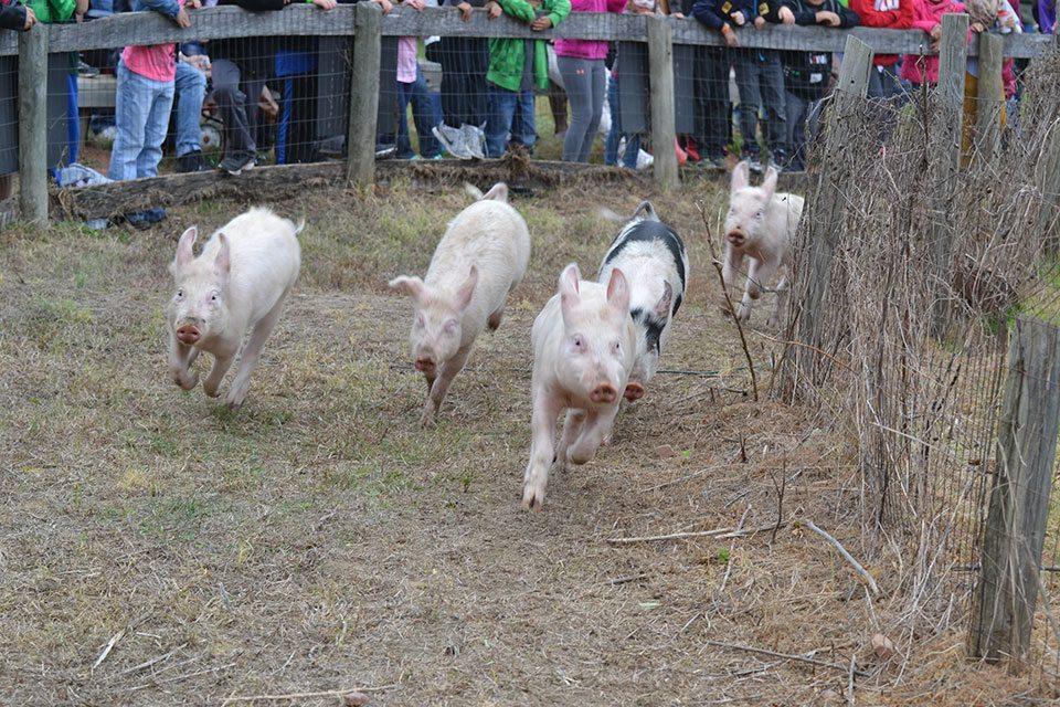 pig-race