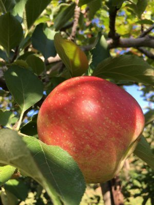 Jonagold apple at Great Country Farms