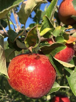 Ruby Jon apples at Great Country farms