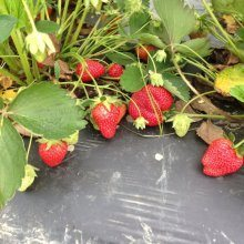 Strawberries — Watch out for Pesticides!
