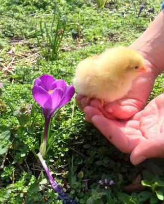 chick_keeping_program